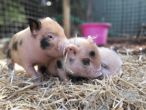 micro pigs for sale uk