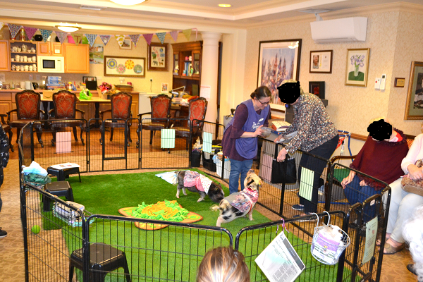 a care home visit in Esher London with miniature pigs Holly and Polly