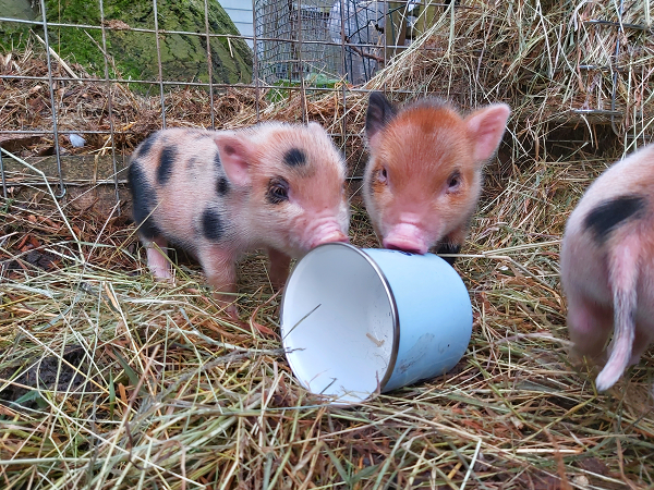 Miniature piglets and a cup uk