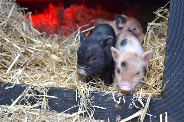 piglets for sale near me
