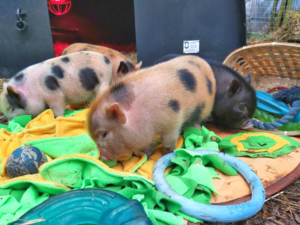 four miniature piglets rooting on a play mat near London