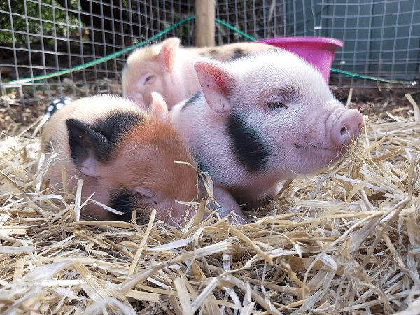 relaxing miniature piglets uk
