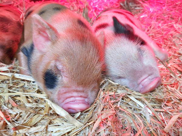 micro piglets sleeping on a straw bed