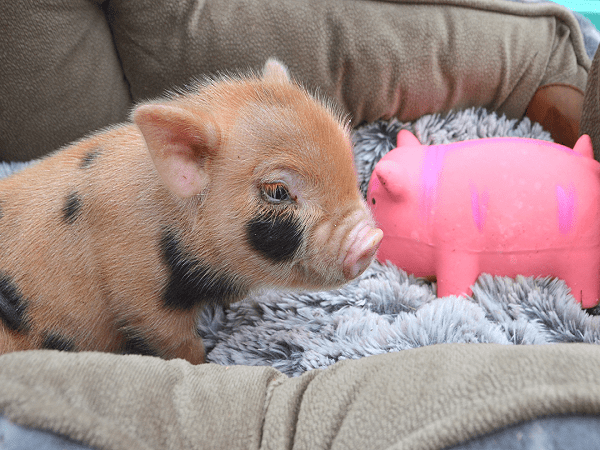micro piglet with a toy piglet in the uk