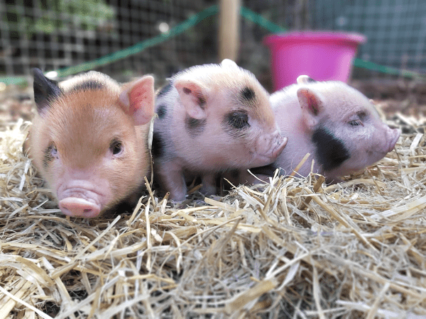 three little miniature pigs in london