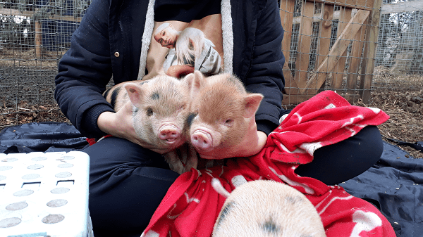 twin miniature piglets being held by a child uk