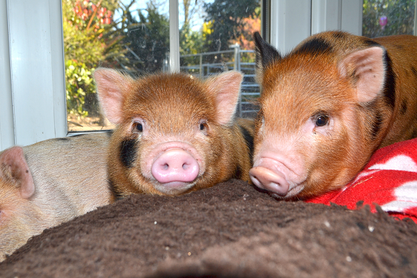 two adorable miniature piglets uk