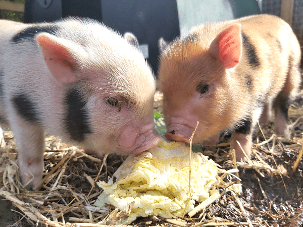 two micro piglets uk